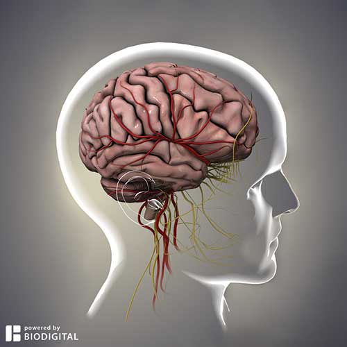 A view of the BioDigital Human brain.