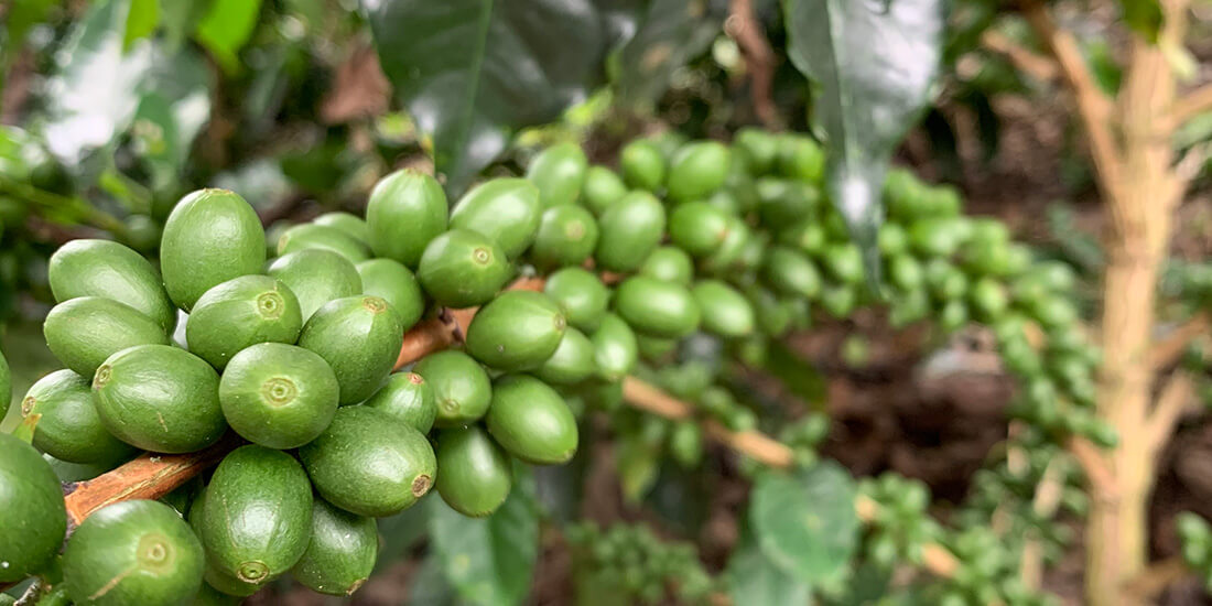 big data in agriculture coffee beans blue bird coffee