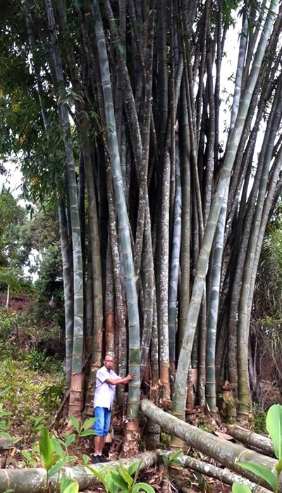 timber bamboo growing in nature
