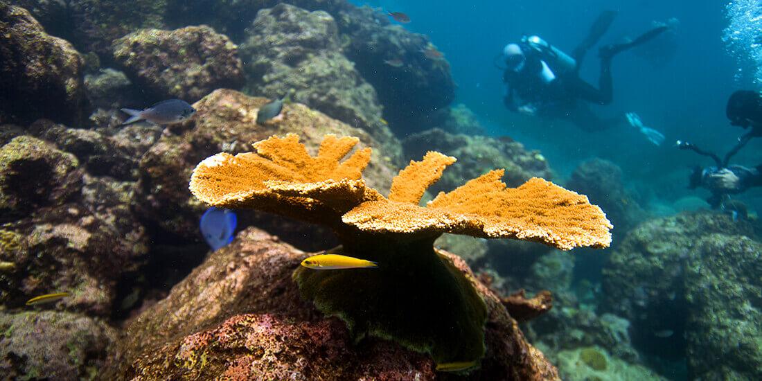 サンゴ礁 保全 エルクホーン